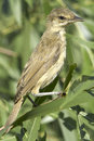 An immature of great reed warbler acrocephalus arundinaceus in a natural habitat Royalty Free Stock Image