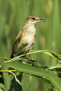 An immature of great reed warbler acrocephalus arundinaceus in a natural habitat Royalty Free Stock Photography