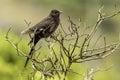Immature jacobin cuckoo juvenile bird Stock Photo