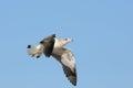 Immature kelp gull flying at swakopmund in namibia Royalty Free Stock Photos