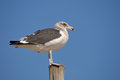 Immature kelp gull on a pole at swakopmund in namibia Royalty Free Stock Photos
