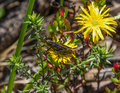 Immature koppie foam grasshopper dictyophorus spumans on a lampranthus bicolor flower western cape south africa Stock Images