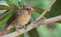 Immature Male Cardinal-Tree branch Royalty Free Stock Photo