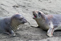 Immature male elephant seal confrontation on sandy beach Royalty Free Stock Photos