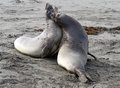 Immature male elephant seal confrontation on sandy beach Stock Image