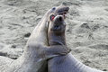 Immature male elephant seals play fighting on sandy beach Royalty Free Stock Photos
