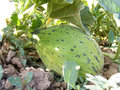 Immature melon pictures in the field for commercials of fruit producers Royalty Free Stock Photo
