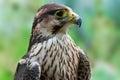 Immature peregrine falcon close up Royalty Free Stock Image