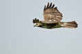 Immature Red Tailed Hawk Royalty Free Stock Photo
