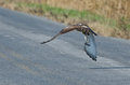 Immature Red-Tailed Hawk Flying Down Highway Stock Photo