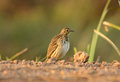 Immature red throated pipit anthus cervinus beautiful on ground Stock Photo