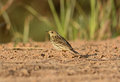 Immature red throated pipit anthus cervinus beautiful on ground Royalty Free Stock Image
