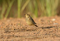 Immature red throated pipit anthus cervinus beautiful on ground Stock Photography