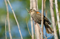 Immature Red-Winged Blackbird Royalty Free Stock Photo
