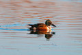 Immature shoveller an duck anas clypeata swimming in a lake Stock Photography