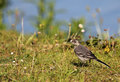Immature wagtail Royalty Free Stock Images
