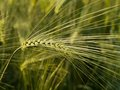 Immature wheat spike ripening close up Stock Image