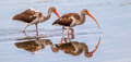Immature white ibis panoramic composition of two foraging in marsh with reflection Stock Images