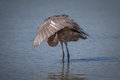 Immature, young reddish egret Royalty Free Stock Image