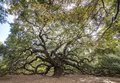 Immense spreading oak live tree Stock Image