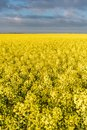Immense yellow field rapeseed rural landscape Royalty Free Stock Image