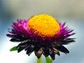 Immortelle everlasting flower strawflower in the garden Stock Photo