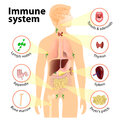 Immune system human anatomy human silhouette with internal organs Stock Photos