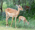 Impala: Aepyceros Melampus Royalty Free Stock Photography