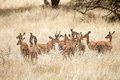Impala aepyceros melampus impalas in the african savanna Royalty Free Stock Image