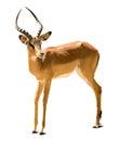 Impala aepyceros melampus isolated on white background Stock Image