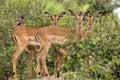Impala aepyceros melampus in kruger national park south africa Royalty Free Stock Images