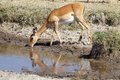 Impala aepycerus melampus female is drinking Royalty Free Stock Photo