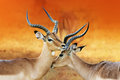 Impala affection during rutting season aepyceros melampus two male s having an intimate moment a time of battle the Royalty Free Stock Photos