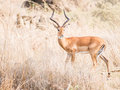 Impala african antelope called on the savanna in tanzania Royalty Free Stock Images