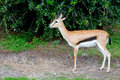 Impala an african standing alone on a reserve Royalty Free Stock Images
