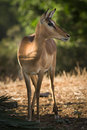 Impala antelope Royalty Free Stock Photo