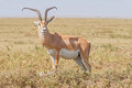 Impala antelope in Africa Royalty Free Stock Photo