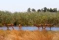 Impala antelope africa safari wildlife and wilderness Royalty Free Stock Photo