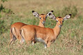 Impala antelope lambs two small aepyceros melampus lake nakuru national park kenya Royalty Free Stock Photo