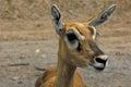 Impala am antelope in safari open zoo Stock Photography