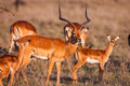 Impala antelope walking on the grass landscape, Africa Royalty Free Stock Photo