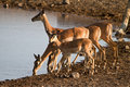 Impala antelopes Stock Photography