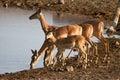 Impala antelopes Royalty Free Stock Photo