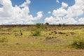 Impala or antelopes grazing in savannah at africa Royalty Free Stock Photo