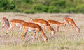 Impala antelopes grazing on the savannah Royalty Free Stock Photo