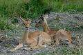Impala babies Royalty Free Stock Images