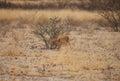 Impala baby looking for food in kalahari desert of botswana Stock Photography