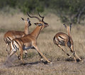 Impala - Botswana Stock Photography