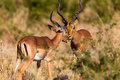 Impala Buck Affections Wildlife Royalty Free Stock Image