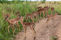 Impala Buck Calfs Royalty Free Stock Image